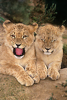 656259175 a pair of willdlife rescue african lion cubs panthera leo at a rescue facility in southern california species is native to sub-saharan africa