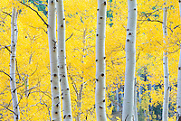 Fall aspen near Aspen, Colorado.  Taken in one of my two or three favorite aspen groves in the state, because of its uniformly tall, straight, white trunks.<br /> <br /> Canon EOS 5D Mk II, 70-200 f/2.8L lens