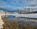 Yellowstone National Park, WY: Cottonwood trees on the Lamar River reflecting on an open river channel