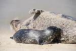 Children's Pool, La Jolla, California; a Harbor Seal (Phoca vitulina) pup nursing from it's mother while lying on a sandy beach