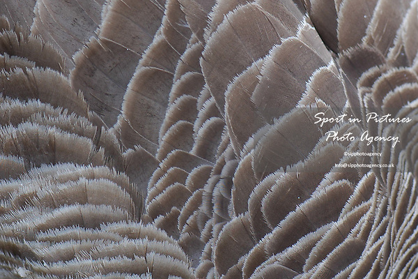 Close up of some Canada Goose feathers