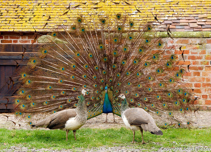 Peacock and Peahens.