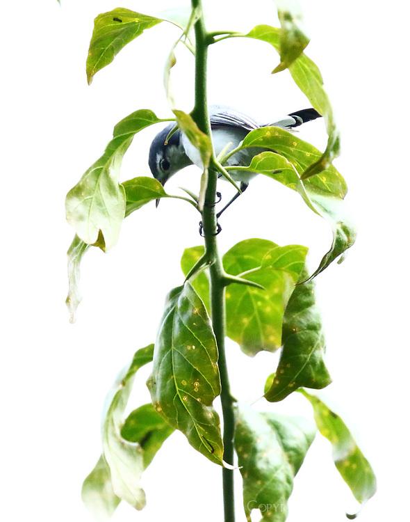 Female tropical gnatcatcher