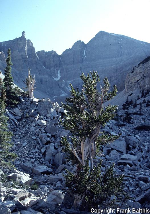 bristlecone pine trees near Wheeler Peak, Scan 4L