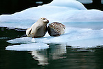 Harbor seal and pup, Tracy Arm, Alaska