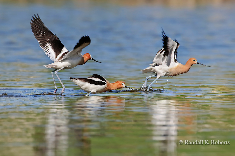 An American Avocet (Recurvirostra americana) couple chase off another avocet, shortly before the couple mated in this small pond in northern Colorado.