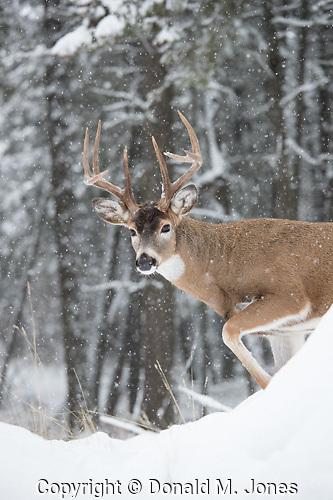 Whitetail Deer (Odocoileus virgininianus)