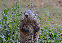 Courtesy photo/TERRY STANFILL<br /> GROUND HOG PATROL<br /> A ground hog is seen along a country road near Decatur. Ground hogs are also called woodchucks and whistle pigs. Terry Stanfill of the Decatur area took the picture in September.