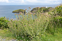 SLENDER THISTLE Carduus tenuiflorus (Asteraceae), Lundy Island, Devon. Height to 1m. Upright, greyish biennial. Similar to Welted Thistle but stems are spiny-winged right up to the flower heads and extremely cottony. Grows in dry grassland, often near the sea. FLOWERS are borne in egg-shaped heads, 5-10mm across, with pinkish red florets; in dense, terminal clusters (Jun-Aug). FRUITS have unbranched hairs. LEAVES are pinnate, spiny and cottony below. STATUS-Locally common around coasts, except N.