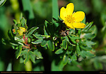 Shrubby Cinquefoil, Shrubby Potentilla, Dasiphora fruticosa, Ski Meadow, Pajarito Mountain, Los Alamos, New Mexico