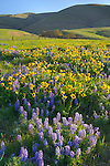 Columbia Hills State Park, Washington:<br /> Lupine and balsam root blooming on a hillside in the Columbia Hills above the Columbia River