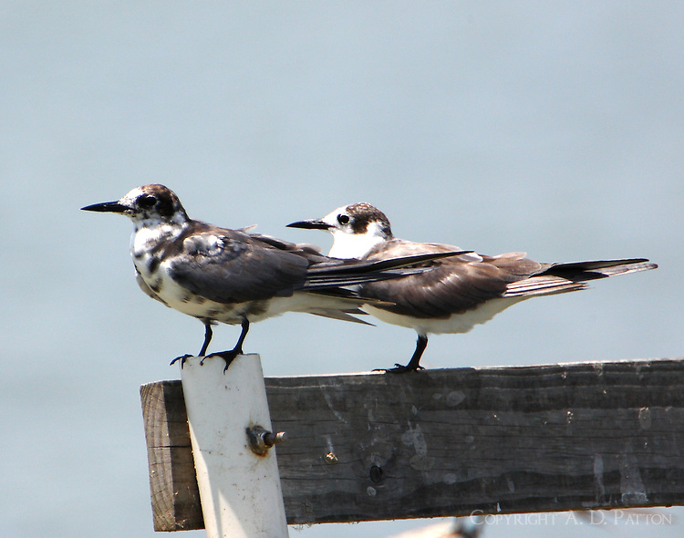 Two black terns, molting adult to left and juvenile to right