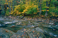American beech<br /> Texas Brook<br /> Green Mountain National Forest<br /> Vermont,  New England