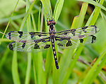 Banded Pennant dragonfly.