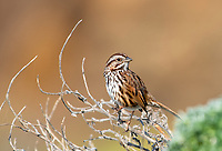 Song Sparrow, Melospiza melodia, Sonoma County, California