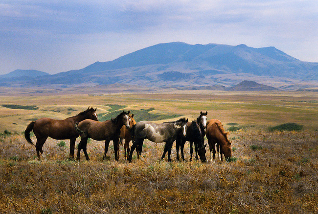 Healthy herd of horses graze on reservation lands of the Chippewa-Cree near Rocky Boy Agency overlooking the Bear Paws Mountain Range in Montana.
