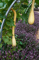 Long neck summer squash hanging from arch trellis at Sunset garden, Cornerstone, Sonoma with purple Basil 'Mountain Magic'