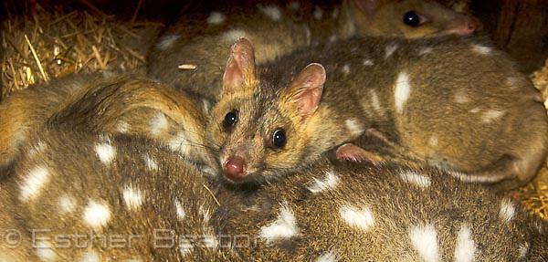 Eastern Quoll (Dasyurus viverrinus). Southeastern Australia