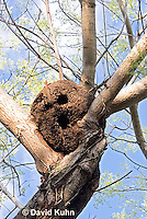 0101-1202  Arboreal Termite Nest (Central American Jungle), Drywood Termite  © David Kuhn/Dwight Kuhn Photography