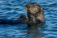 Southern Sea Otter (Enhydra lutris nereis).  Central California Coast.