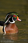 Wood Duck (Aix sponsa) male in breeding plumage, close-up, Orange County CA
