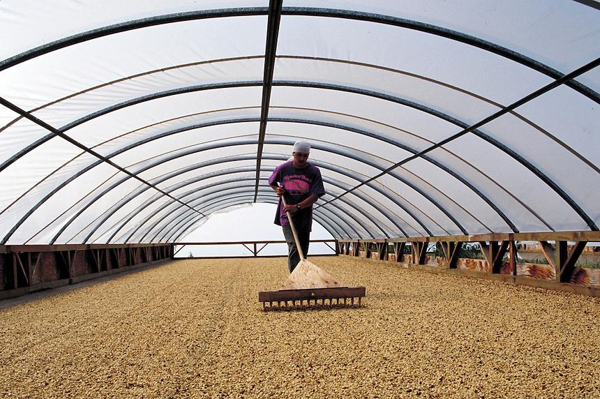 Farmworker rakes green Kona coffee beans inside shed that's open to Pacific Ocean trade winds; Bayview Farm; Honaunau, Hawaii. Kailua-Kona Hawaii USA Big Island.
