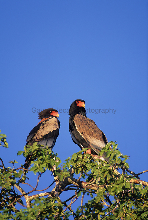 Two Bateleur eagles (Terathopius ecaudatus) on a dead tree. The Bateleur is a conspicuous short-tailed eagle with extensive bright-red facial skin. .