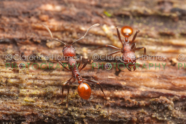 Two Spine-waisted Ant (Aphaenogaster tennesseensis) workers interact while on a foraging trip on a fallen dead tree trunk.
