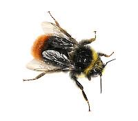 Red-tailed Bumblebee - Bombus lapidarius