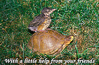 Robin fledgling on turtle's back