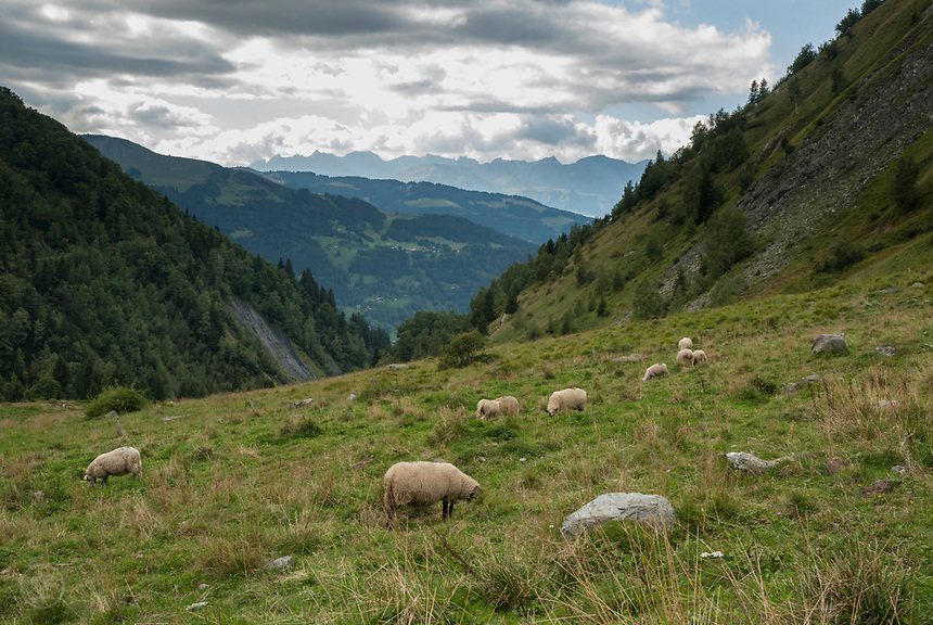 Sheep grazing on the meadow beside the Tour du Mont Blanc trail, September 2007
