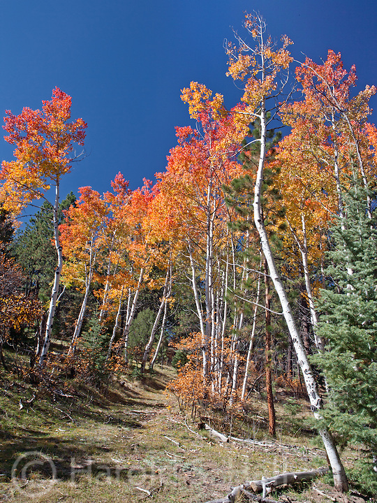 Aspen trees of red, yellow and gold are abundant in the mountains around Taos and Chama, new Mexico.