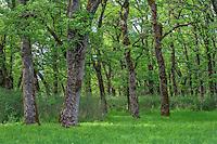ORWVS_D107 - USA, Oregon, Sauvie Island Wildlife Area, Grove of Oregon white oak trees above spring  grasses at Oak Island.