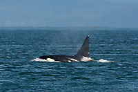 Orca whale in Haro Strait off San Juan Island, Washington, US