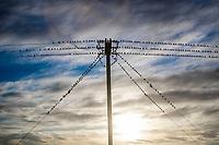 dozens of birds pose on high voltage cables in backlight at cloudy sunset in the Tastiota desert, Sonora Mexico ..<br /> .<br /> decenas de aves posan sobre  cables de alta tension a contraluz al atardecer nublado en el desierto de Tastiota, Sonora Mexico..<br /> ..<br /> PALABRAS CLAVES: <br /> (Photo:LuisGutierrez/NortePhoto.com)