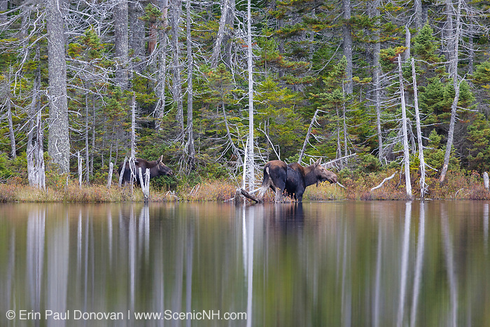 Moose on the edge of Nancy Pond, which is located within the Nancy Brook Research Natural Area in the White Mountain National Forest in New Hampshire.