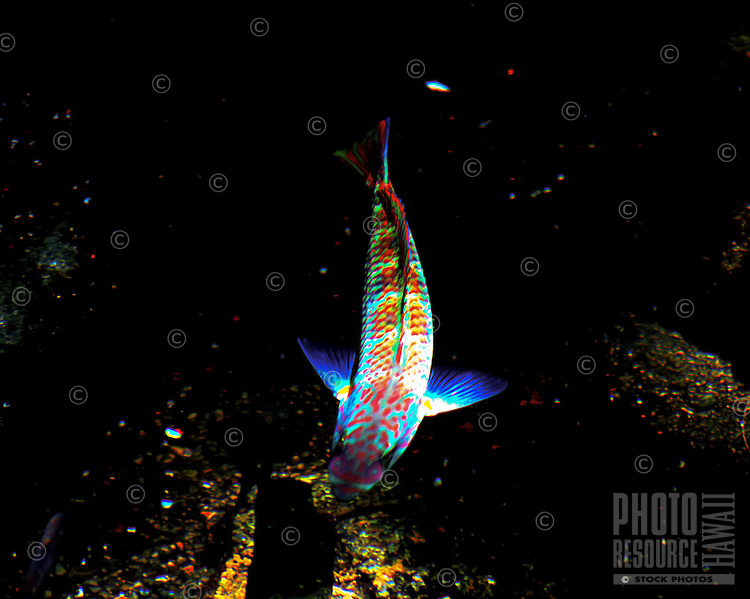 The sunlight reflecting on the water gives a wrasse (or hinalea) a glowing effect, Hawai'i; they are the most numerous fish along Hawaiian reefs and endemic to the islands.