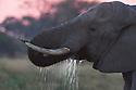 Botswana, Okavango Delta, Moremi Game Reserve, African elephant bull (Loxodonta africana) drinking at sunset