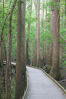 Boardwalk in Bald Cypress - Tupelo Swamp; Taxodium distichum, Nyssa sp., SC, Congaree National Park
