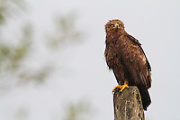 Adult Lesser-spotted eagle (Aquila pomarina) perched on electric wire post close to Lutowiska, Poland.