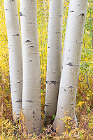 Aspen trunks near Aspen