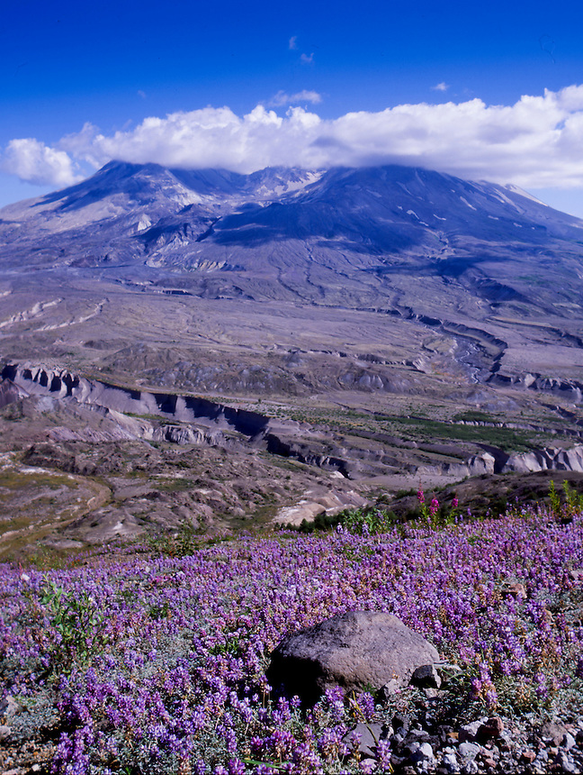 Broadleaf Lupine (Lupinus latifolius) and Mt. St. Helens from Johnston Ridge, Mt. St. Helens National Volcanic Monument, Washington, US
