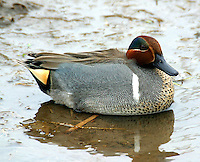 Adult male green-winged teal in breeding plumage