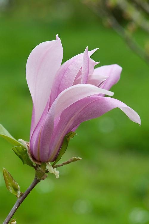 Star magnolia (Magnolia stellata 'Susan'), mid April.