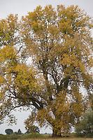 Schwarz-Pappel, Schwarzpappel, im Herbst, Herbstlaub, Herbstverfärbung, Pappel, Saarbaum, Populus nigra, black poplar, black-poplar, Le peuplier noir