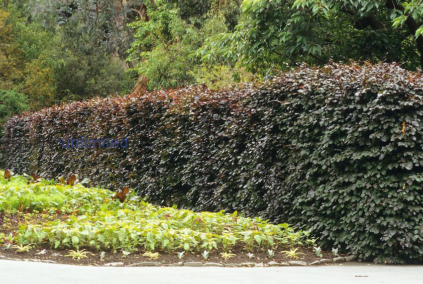 A hedge of European Copper Beech (Fagus sylvatica forma purpurea).