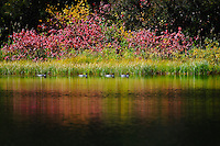 """""""MERGANSERS ON HANDKERCHIEF LAKE""""<br /> <br /> 40 X 30 USD 3,500<br /> 36 X 24 USD 2,800<br /> <br /> 16 x 12.5 Paper print. Signed & numbered.<br /> 1/50 $95.00<br /> <br /> Merganser ducks paddling the calm waters of Handkerchief Lake in Flathead National Forest Montana. Scarlet mountain maple lights up the landscape."""