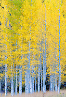 Aspen stand near Maroon Lake, Colorado.<br /> <br /> Canon EOS 5D, 70-200 f/2.8L lens with 1.4x teleconverter