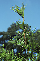 Japanese Umbrella Pine Sciadopitys verticillata (Taxodiaceae) HEIGHT to 23m. Broadly conical evergreen, often with a finely tapering crown, but may be bushy. BARK Red-brown, peeling in long vertical strips. LEAVES Needle-like, up to 12cm long and borne in umbrella-like clusters. Needles are deeply grooved on both sides, dark green above, but more yellow below. REPRODUCTIVE PARTS Male flowers are yellow and produced in clusters; female flowers are green, and grow at tips of shoots, ripening into ovoid, 7.5cm-long, red-brown cones after 2 years. STATUS AND DISTRIBUTION Native of Japan, but grows well in many parts of Britain and Europe.