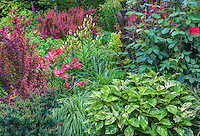 Vashon-Maury Island, WA: Summer perennial garden featuring lilies, barberry 'Orange Rocket', persicaria 'Painters Pallette' and Hybrid Tea Rose 'Mr Lincoln'